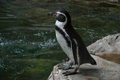 Pinguino di Humboldt Immagine Stock