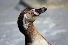 Pinguino di Humboldt Fotografia Stock Libera da Diritti