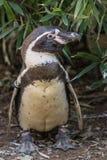Pinguino-Di Humboldt Stockbild