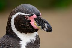 Pinguino di Humboldt fotografie stock