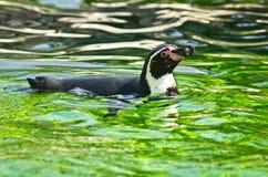 Pinguino di Humboldt allo zoo del parco di Schoenbrunn a Vienna Fotografie Stock Libere da Diritti