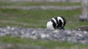 Pinguino di Humboldt che prende cura delle sue piume archivi video