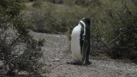 Pinguino di Humboldt che pulisce le sue piume fra due cespugli selvaggi stock footage
