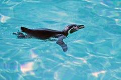 Pinguino di Humboldt di nuoto Fotografie Stock Libere da Diritti