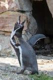Pinguino-Di Humboldt-Ed-IL-suo richiamo Lizenzfreie Stockfotografie
