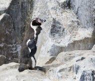 Pinguino di Humboldt, humboldti dello spheniscus fotografia stock libera da diritti