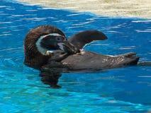 Pinguino di Humbolt Fotografia Stock Libera da Diritti