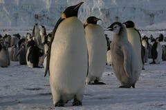 Pinguino di imperatore Fotografie Stock