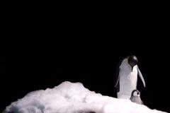 Pinguino di imperatore Fotografie Stock Libere da Diritti
