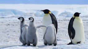 Pinguino di imperatore con i pulcini in Antartide video d archivio