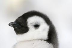 Pinguino di imperatore (forsteri del Aptenodytes) Fotografie Stock