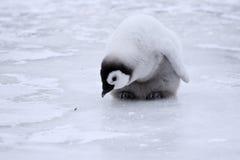 Pinguino di imperatore (forsteri del Aptenodytes) Fotografia Stock