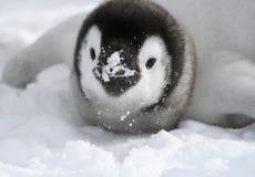 Pinguino di imperatore (forsteri del Aptenodytes) Fotografie Stock Libere da Diritti