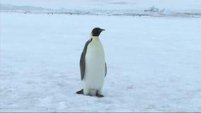 Pinguino di imperatore sull'Antartide stock footage