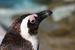 Pinguino di Jackass Fotografie Stock