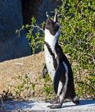 Pinguino di Jackass chiamare Immagine Stock Libera da Diritti