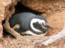 Pinguino di Magellan fotografia stock