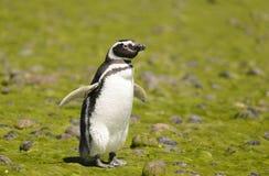 Pinguino di Magellan immagini stock libere da diritti