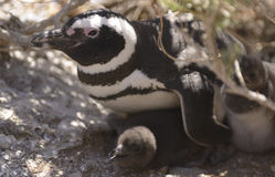 Pinguino di Magellan immagine stock libera da diritti