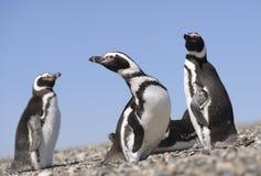 Pinguino di Magellan Fotografia Stock Libera da Diritti