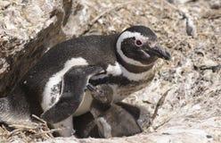 Pinguino di Magellan Immagine Stock