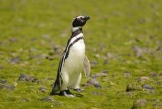 Pinguino di Magellan Fotografie Stock