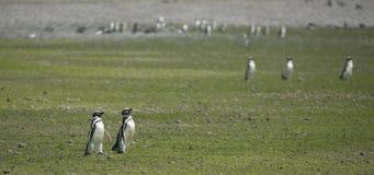 Pinguino di Magellan Immagini Stock