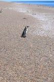 Pinguino di Magellan che cammina verso l'oceano Fotografia Stock Libera da Diritti