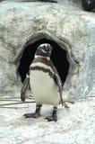 Pinguino di Magellanic Immagini Stock Libere da Diritti