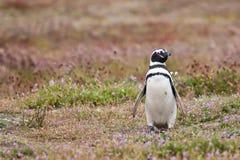 Pinguino di Magellanic Fotografia Stock Libera da Diritti