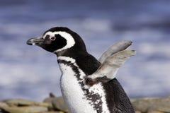 Pinguino di Magellanic Fotografie Stock