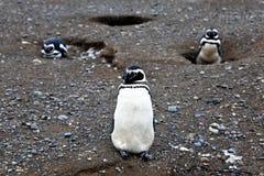 Pinguino di Magellanic al isla Magdalena Immagini Stock