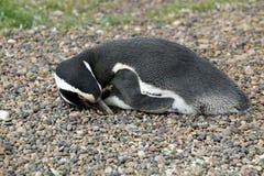 Pinguino di Magellanic che prende il sole Immagini Stock