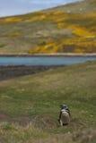 Pinguino di Magellanic - Falkland Islands Immagini Stock Libere da Diritti