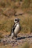 Pinguino di Magellanic nel Patagonia Immagini Stock Libere da Diritti