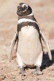 Pinguino di Magellanic nel Patagonia Immagine Stock