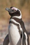 Pinguino di Magellanic nel Patagonia Immagine Stock Libera da Diritti