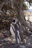 Pinguino di Magellanic nel Patagonia Fotografie Stock Libere da Diritti