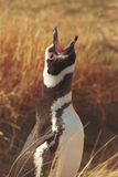 Pinguino di Magellanic nel Patagonia Fotografia Stock Libera da Diritti