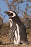 Pinguino di Magellanic nel Patagonia Fotografia Stock