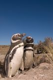 Pinguino di Magellanic nel Patagonia Fotografie Stock