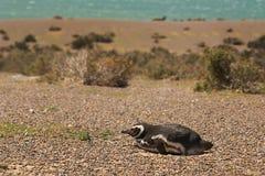 Pinguino di Magellanic nella Patagonia Fotografia Stock Libera da Diritti