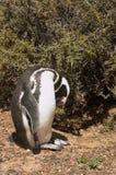 Pinguino di Magellanic nella Patagonia Immagine Stock