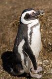 Pinguino di Magellanic in Patagonie del sud Fotografie Stock Libere da Diritti
