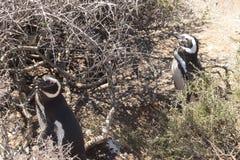 Pinguino di Magellic Fotografia Stock Libera da Diritti