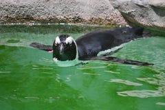 Pinguino di nuoto fotografia stock libera da diritti
