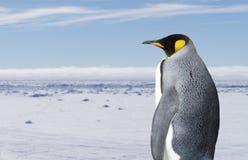 Pinguino di re Immagini Stock Libere da Diritti