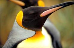 Pinguino di re fotografie stock