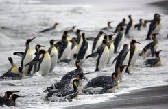 Pinguino di re Fotografie Stock Libere da Diritti