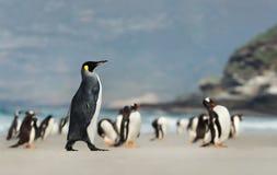 Pinguino di re che cammina su una spiaggia sabbiosa vicino ad un gruppo di pinguini di Gentoo fotografia stock libera da diritti